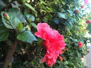 La Corbeille de fruits (18)- Rabindranath Tagore dans mes photographies arbres-20-08-2012-0062-300x225